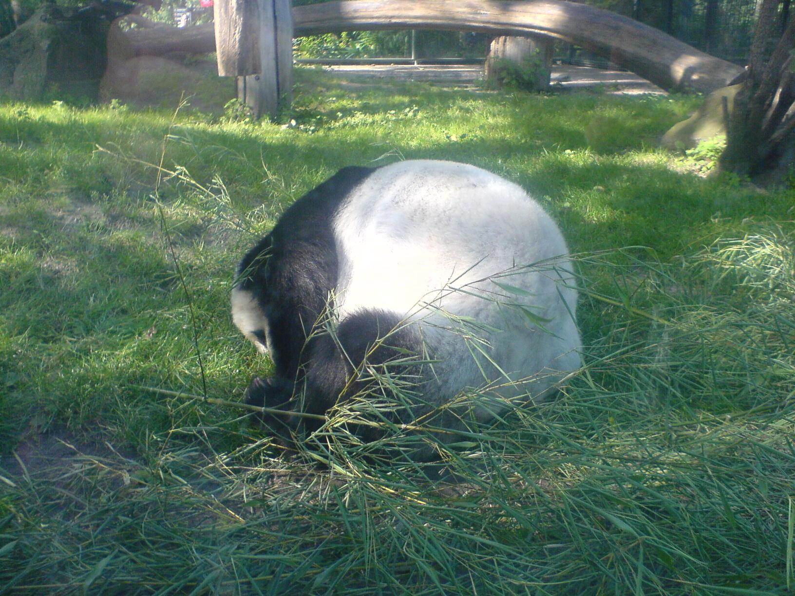 Panda im Berliner Zoo #1