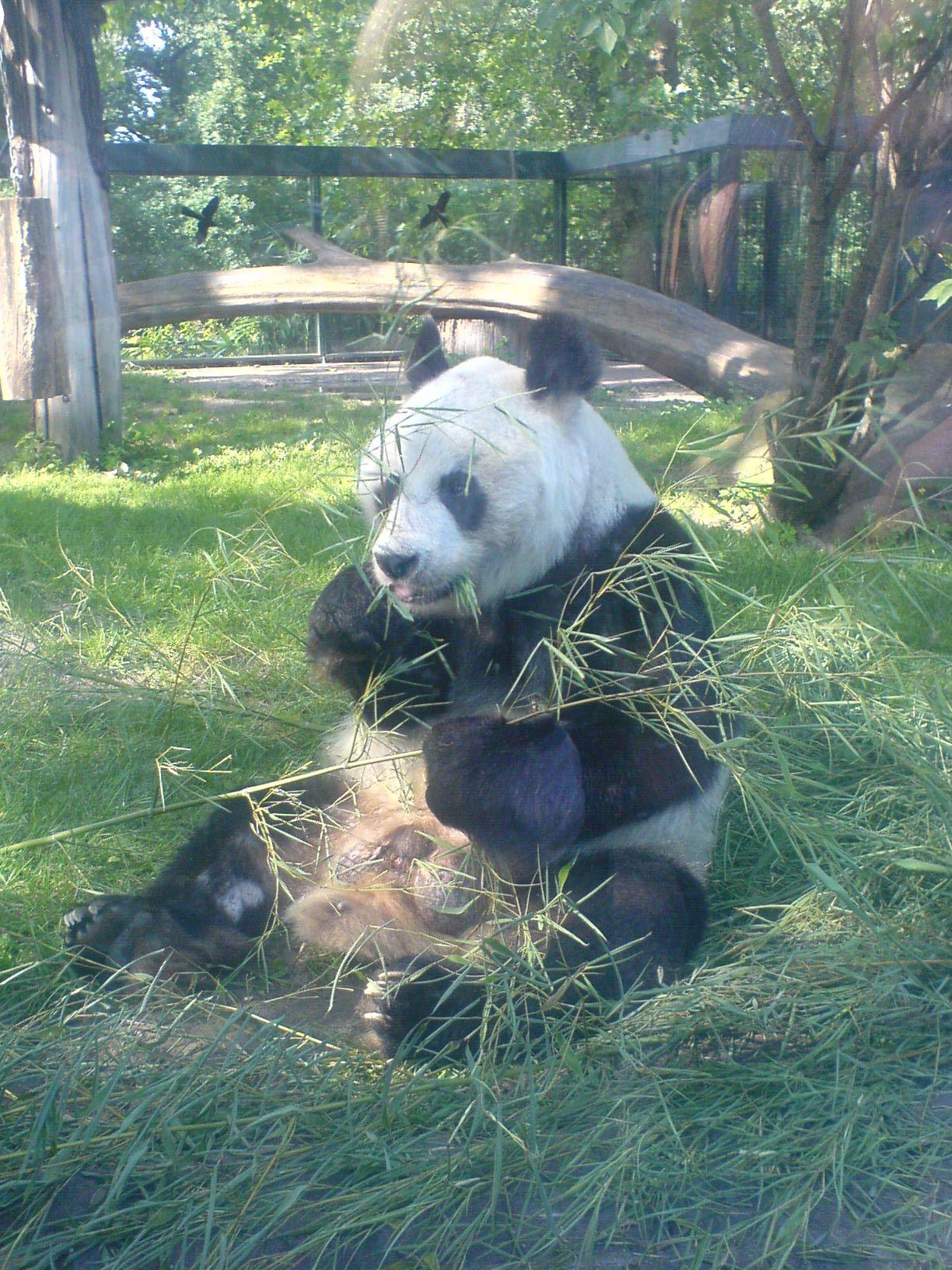 Panda im Berliner Zoo #2